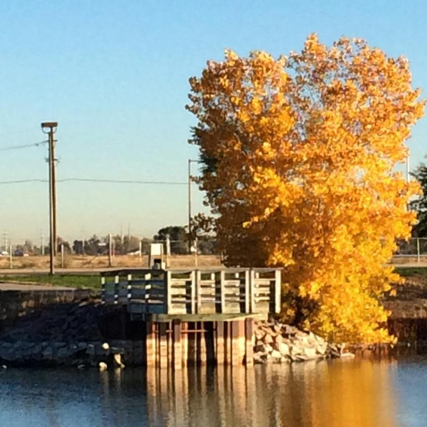 Yellow tree and dock next to pond